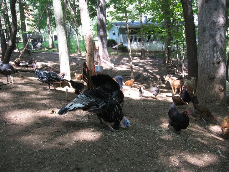 Autumn-turkeys