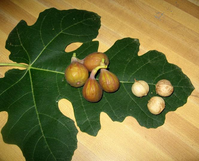 Fig-harvest