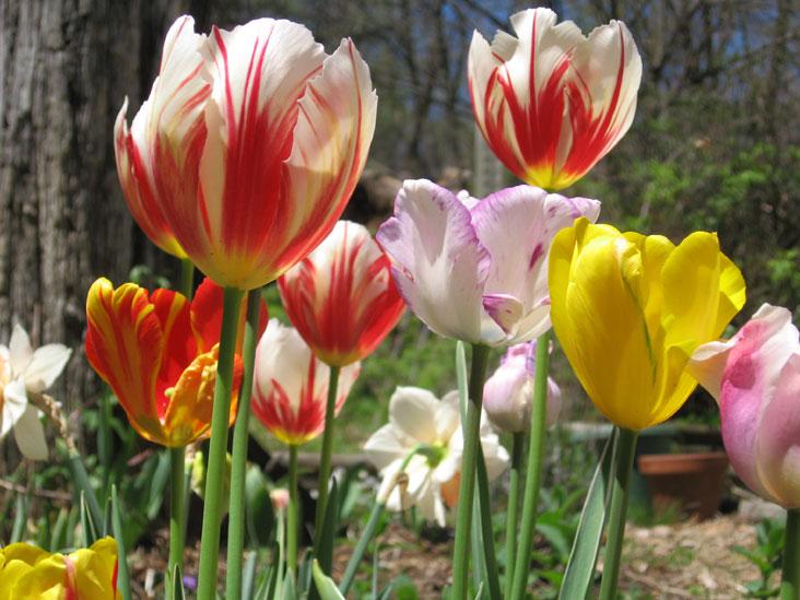 Tulips-in-sun