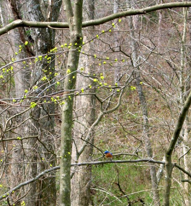 Spicewood-with-bluebird