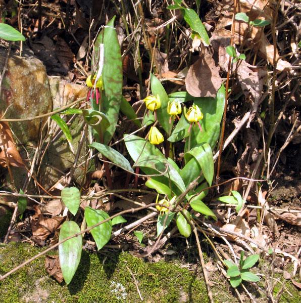 Trout-lilies