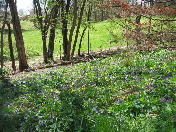 Field-of-violets