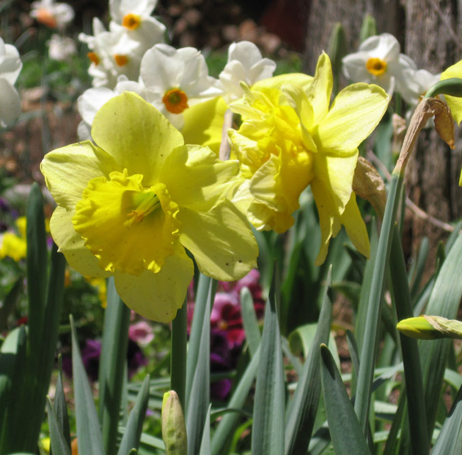 Daffs-in-sun