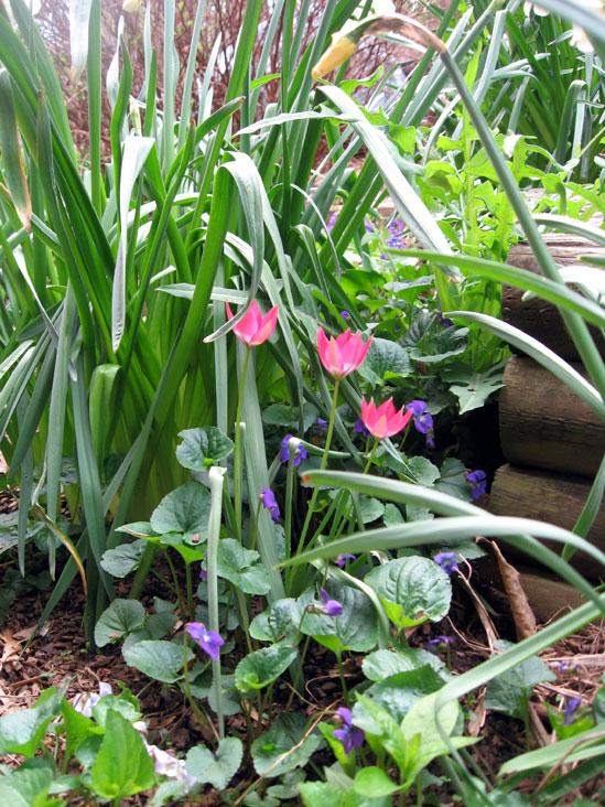 Species-tulips