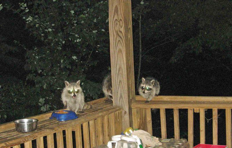 3-baby-raccoons1