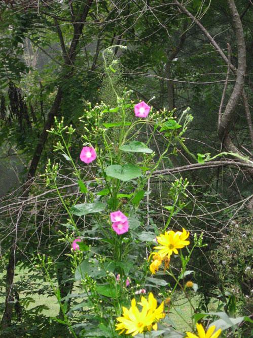 Pink-morning-glories