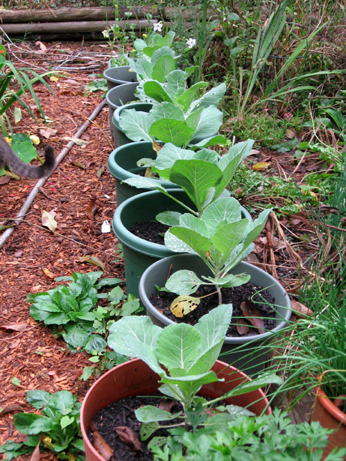 Cabbage-pots