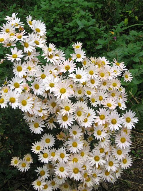 Fall-chrysanthemums