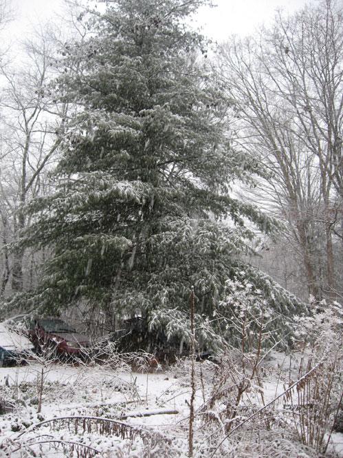Snowy-pine-tree