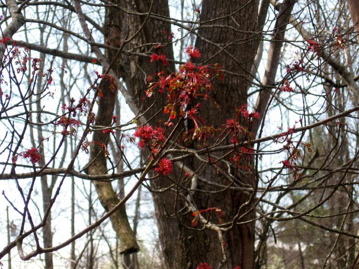 Maple-buds-1