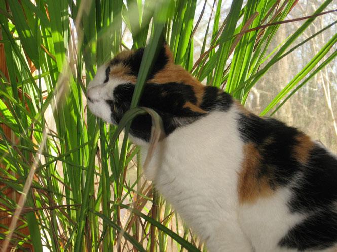 Victoria-lemongrass