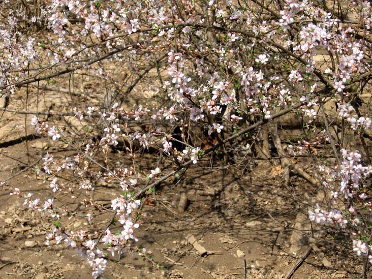 Bush-cherry-blooms