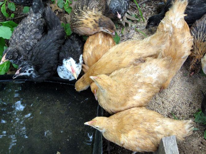 Little-chickens1
