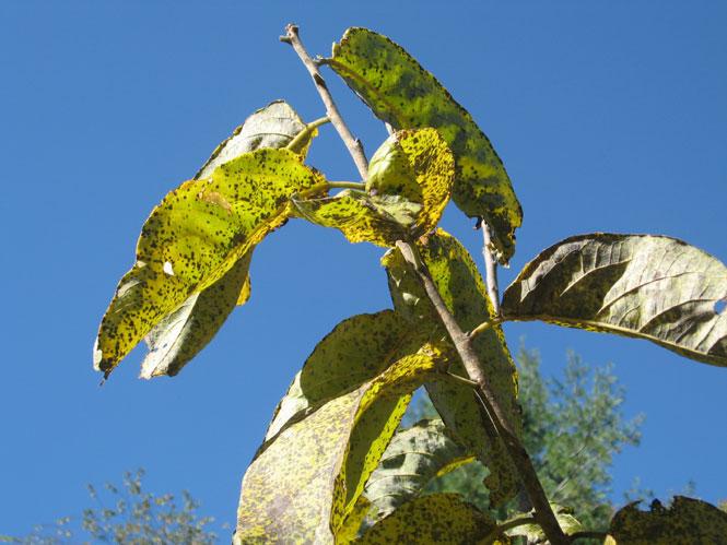 Persimmon-leaves2