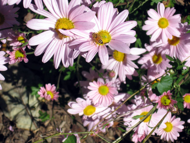 Pink-chrysanthemums-with-be
