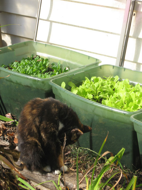 Winter-greens-with-cat