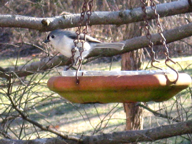 Titmouse-bath1