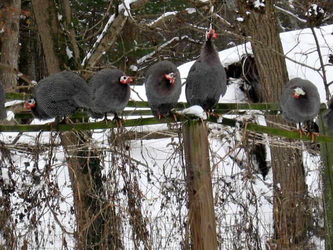 Snow-guineas