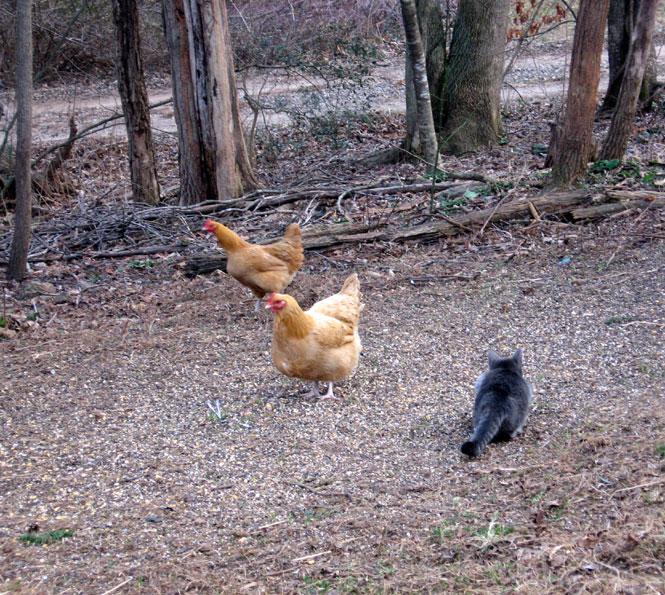 Ysabeau-chicken8