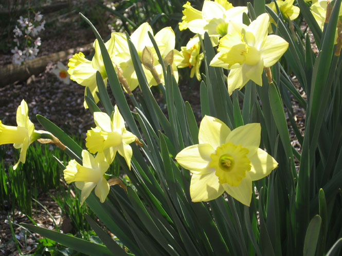 Backlit-daffs