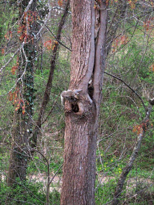 Knothole-squirrel