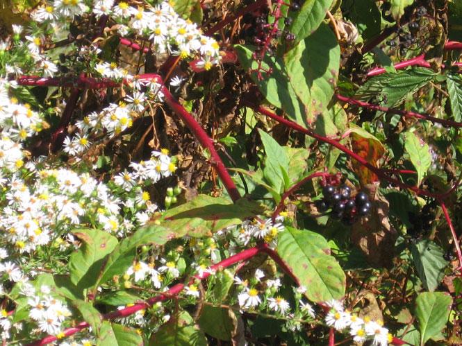 Asters-pokeberries