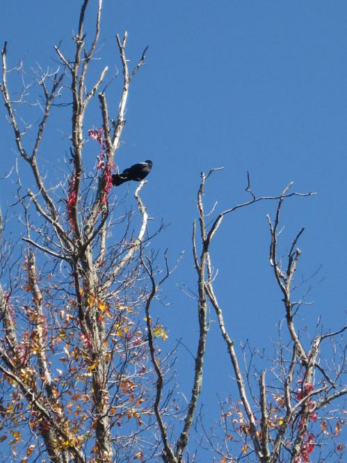 Crow-on-bare-tree