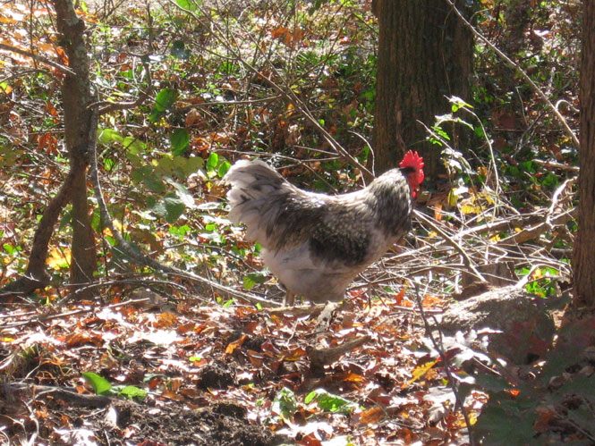 Rooster-on-loose