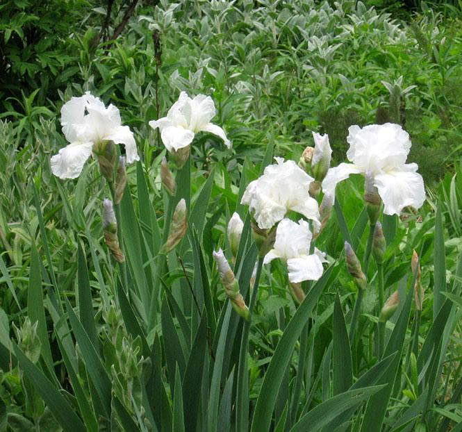 White-iris2