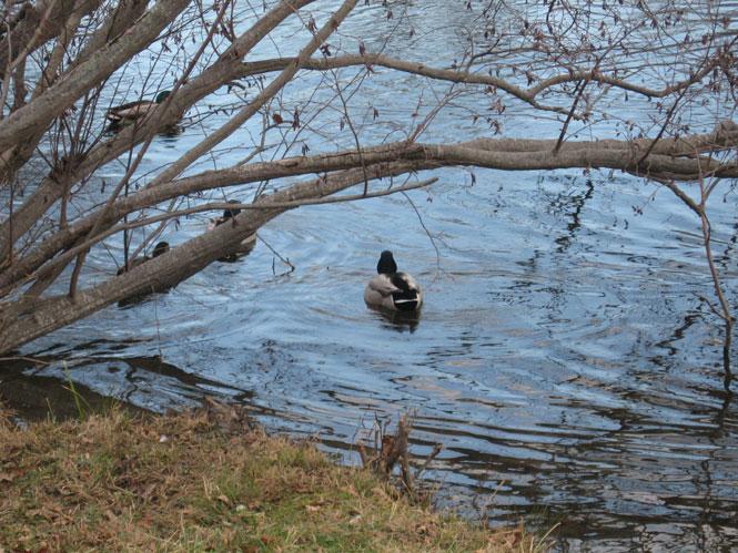 Winter-ducks1