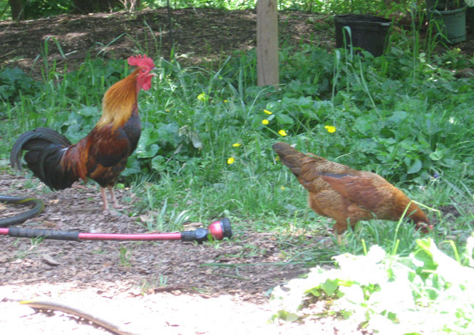 Game-chickens9