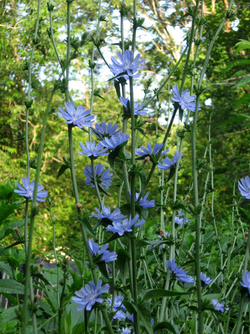 Chicory-blooms