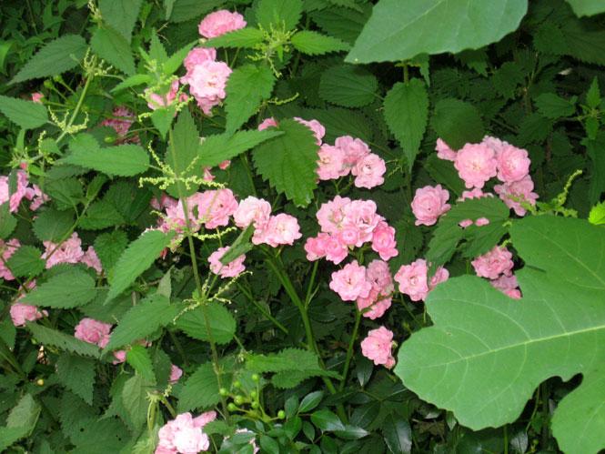 Polyantha-under-the-fig