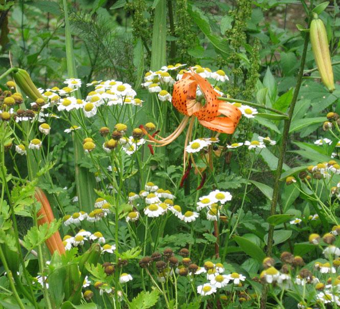 Feverfew-tiger-lilies