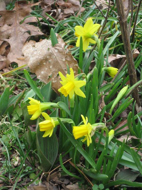 Tiny-daffodils