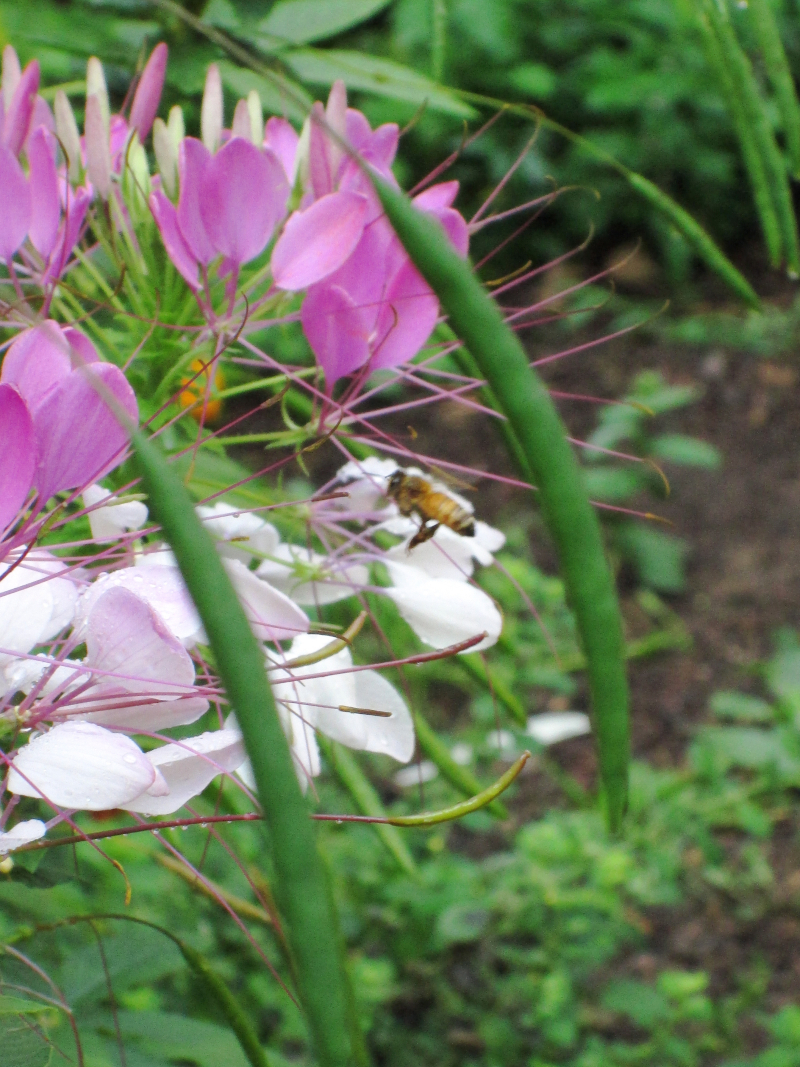 Cleome with bee