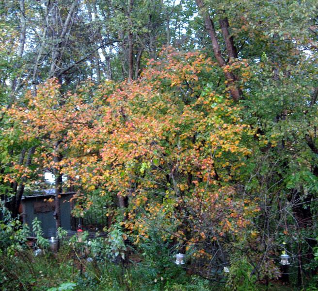 Autumntrees1