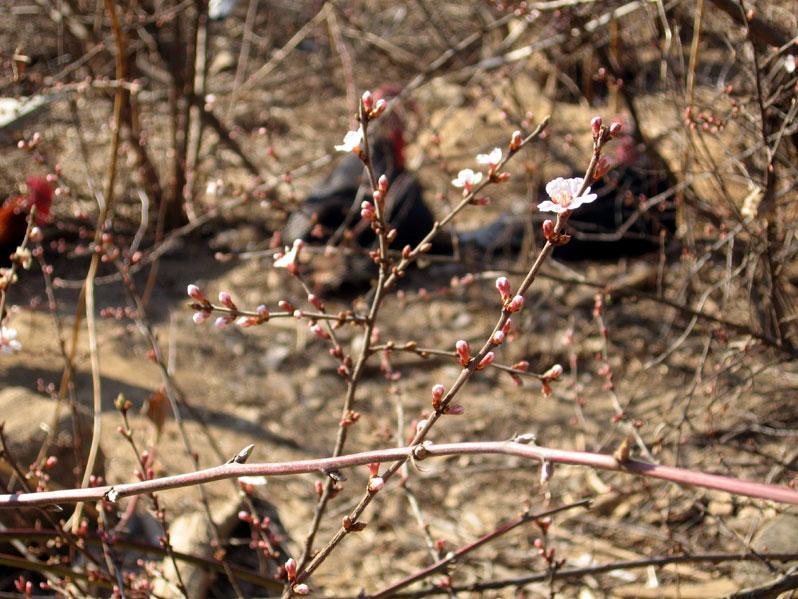 Bushcherryblooms