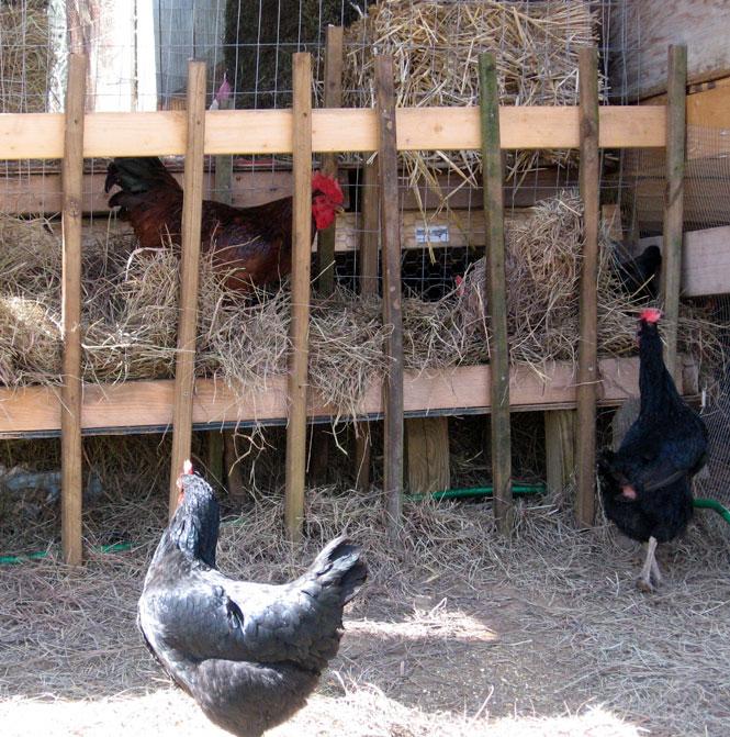 Chickensinhayrack