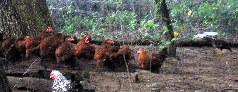 Chickensonlog