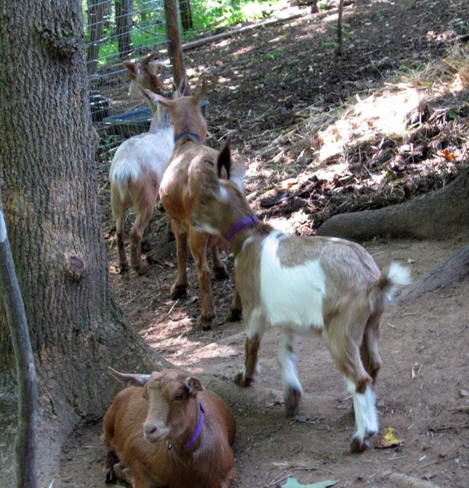 Goatsgoingdownthehill