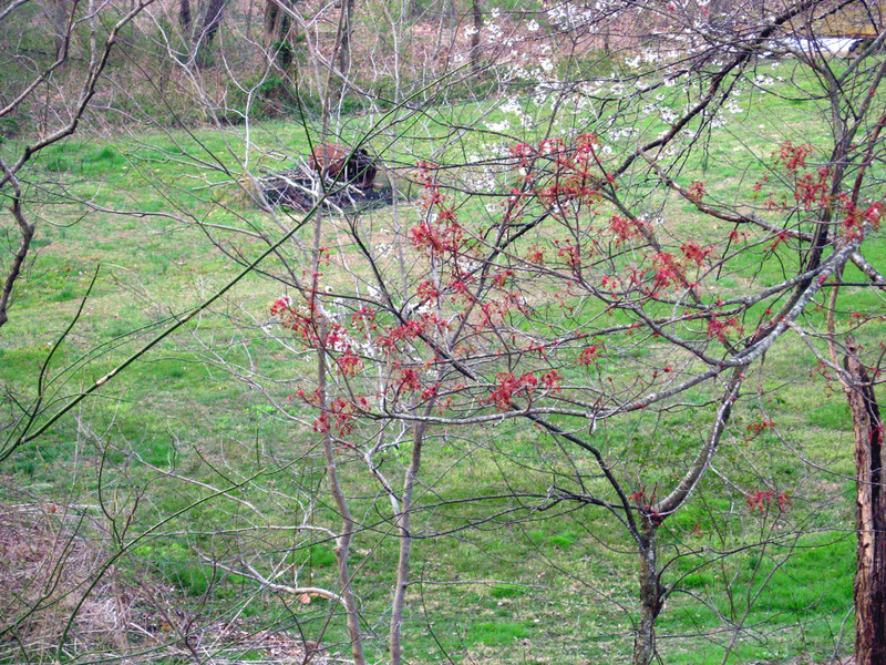 Maples_blooming