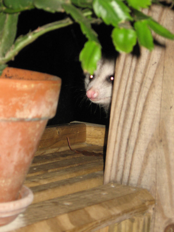 Possumhead