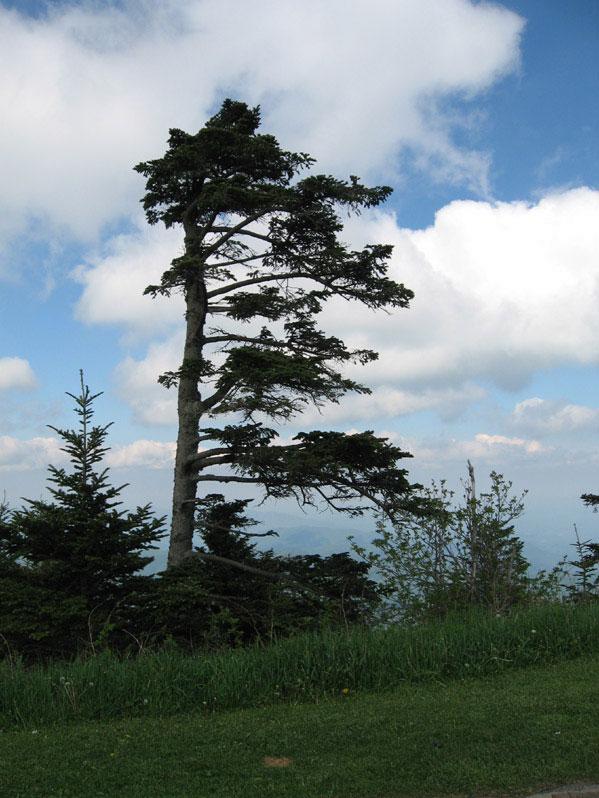 Windswepttree1