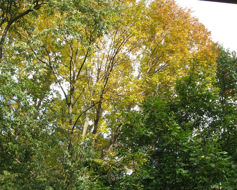 Yellowtrees_1