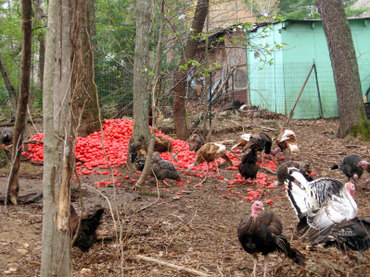 Turkeyseatingtomatoes