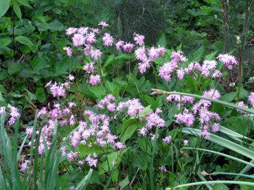 Unidentifiedpinkflowers