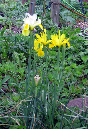 Yellowdutchiris