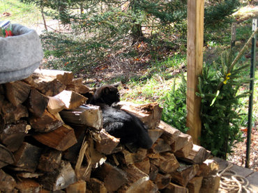 Fitchonthewoodpile