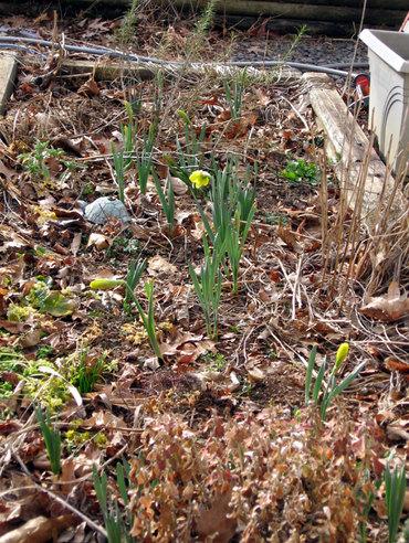 Daffodilbuds1